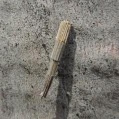 Lepidoscia arctiella (Tower Case Moth) at Tuggeranong DC, ACT - 2 Nov 2019 by michaelb