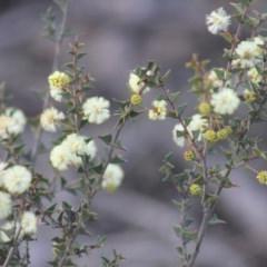 Acacia gunnii (Ploughshare Wattle) at Gundaroo, NSW - 30 Aug 2019 by Gunyijan