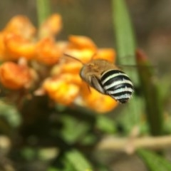 Amegilla (Zonamegilla) asserta (Blue Banded Bee) at ANBG - 11 Nov 2019 by PeterA