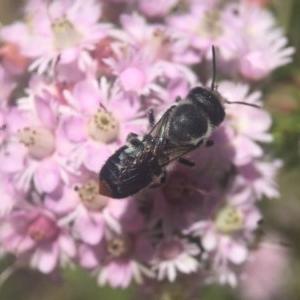 Megachile (Hackeriapis) canifrons at ANBG - 6 Nov 2019