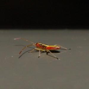 Miridae sp. (family) at Acton, ACT - 8 Nov 2019