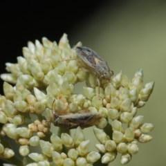 Lygaeidae sp. (family) (Seed bug) at ANBG - 8 Nov 2019 by TimL