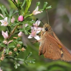 Hesperilla idothea (Flame Sedge-skipper) at ANBG - 8 Nov 2019 by TimL