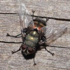 Rutilia (Donovanius) sp. (genus & subgenus) (A Bristle Fly) at ANBG - 8 Nov 2019 by TimL