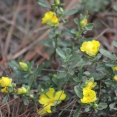 Hibbertia obtusifolia (Grey Guinea-flower) at Gundaroo, NSW - 2 Nov 2019 by Gunyijan