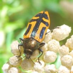 Unidentified Jewel beetle (Buprestidae) (TBC) at Deua River Valley, NSW - 11 Nov 2019 by Harrisi