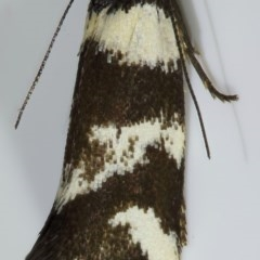 Isomoralla eriscota (A concealer moth) at Kambah, ACT - 12 Nov 2019 by Marthijn