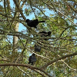 Corcorax melanorhamphos at Brogo, NSW - 12 Nov 2019