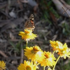 Vanessa kershawi (Australian Painted Lady) at Hughes Grassy Woodland - 11 Nov 2019 by JackyF