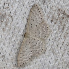 Idaea philocosma (Flecked Wave) at O'Connor, ACT - 29 Oct 2019 by ibaird