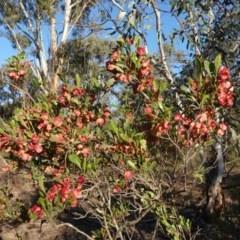 Dodonaea viscosa (Hop Bush) at Hughes Grassy Woodland - 11 Nov 2019 by JackyF
