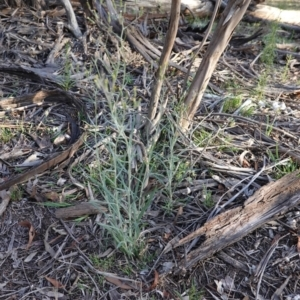 Senecio quadridentatus at Hughes Grassy Woodland - 11 Nov 2019