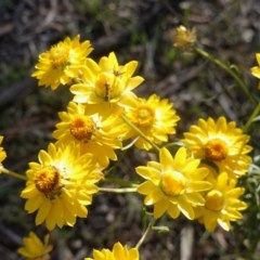 Xerochrysum viscosum (Sticky everlasting) at Hughes Grassy Woodland - 11 Nov 2019 by JackyF