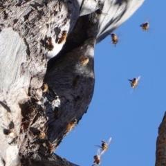 Apis mellifera (European honey bee) at Deakin, ACT - 8 Nov 2019 by JackyF