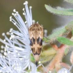 Mordella inusitata (Pintail beetle) at Deua National Park - 9 Nov 2019 by Harrisi