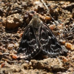 Synemon plana (Golden Sun Moth) at Mount Ainslie - 12 Nov 2019 by jbromilow50