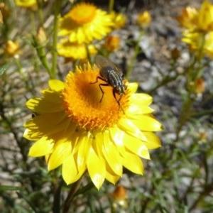 Oxysarcodexia varia at Sth Tablelands Ecosystem Park - 10 Nov 2019