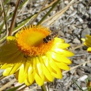 Syrphidae sp. (family) at Sth Tablelands Ecosystem Park - 10 Nov 2019