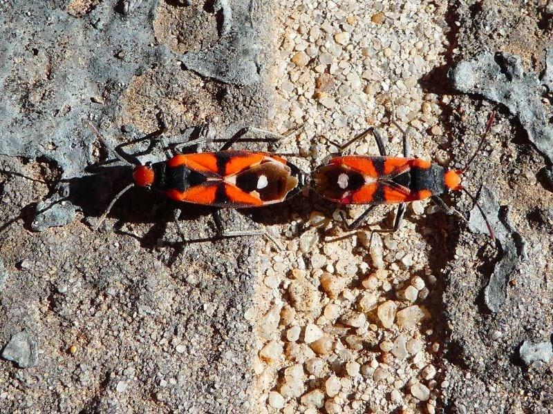 Melanerythrus mactans at Kambah, ACT - 13 Nov 2019