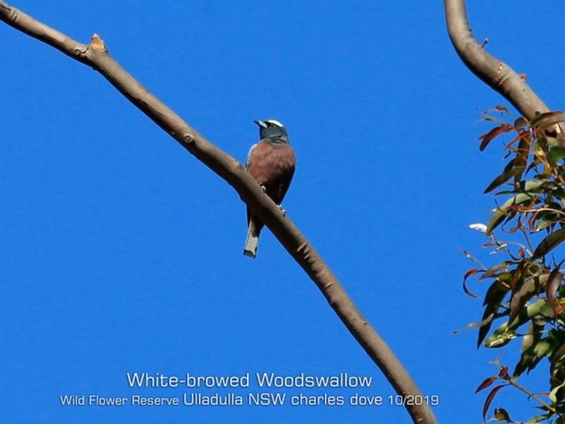 Artamus superciliosus at Ulladulla Wildflower Reserve - 26 Oct 2019