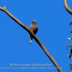 Artamus superciliosus (White-browed Woodswallow) at Ulladulla Wildflower Reserve - 25 Oct 2019 by Charles Dove