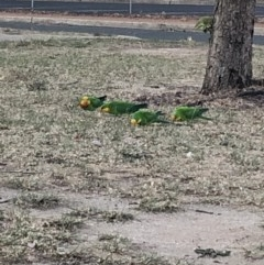 Polytelis swainsonii (Superb Parrot) at Macquarie, ACT - 13 Nov 2019 by Lisa.Jok