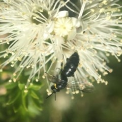 Hylaeus (Gnathoprosopoides) bituberculatus (Hylaeine colletid bee) at ANBG - 6 Nov 2019 by PeterA