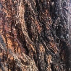 Eucalyptus sideroxylon (Mugga Ironbark) at Weston, ACT - 6 Nov 2019 by Nat