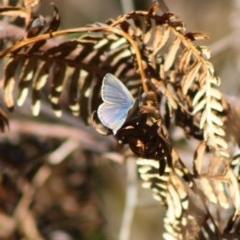 Zizina otis labradus (Common Grass-blue) at Guerilla Bay, NSW - 13 Nov 2019 by LisaH