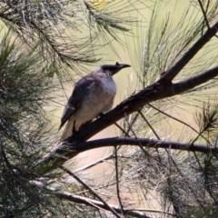 Philemon corniculatus (Noisy Friarbird) at Tuggeranong DC, ACT - 13 Nov 2019 by RodDeb
