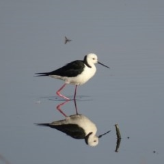 Himantopus leucocephalus (Pied Stilt) at Jerrabomberra Wetlands - 11 Nov 2019 by roymcd