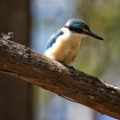 Todiramphus sanctus (Sacred Kingfisher) at FS Private Property - 13 Nov 2019 by Stewart