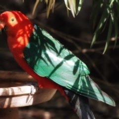Alisterus scapularis (Australian King-parrot) at FS Private Property - 11 Nov 2019 by Stewart