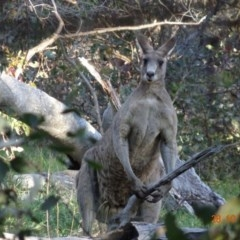 Macropus giganteus (Eastern Grey Kangaroo) at Red Hill Nature Reserve - 28 Oct 2019 by TomT