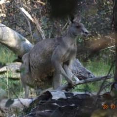 Macropus giganteus at Red Hill Nature Reserve - 28 Oct 2019