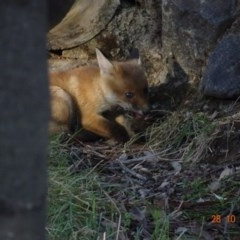 Vulpes vulpes at Red Hill Nature Reserve - 28 Oct 2019