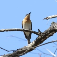 Myiagra rubecula (Leaden Flycatcher) at Penrose State Forest - 13 Nov 2019 by Snowflake