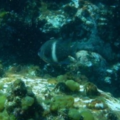 Unidentified Reef fish (TBC) at Bawley Point, NSW - 14 Nov 2019 by GLemann