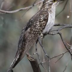 Heteroscenes pallidus (Pallid Cuckoo) at Callum Brae - 13 Nov 2019 by Marthijn