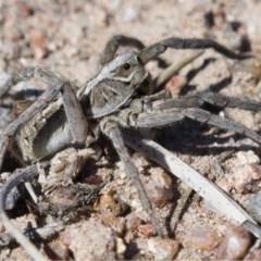 Tasmanicosa godeffroyi (Garden Wolf Spider) at Symonston, ACT - 13 Nov 2019 by Marthijn