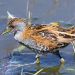 Zapornia pusilla (Baillon's Crake) at Jerrabomberra Wetlands - 13 Nov 2019 by Marthijn