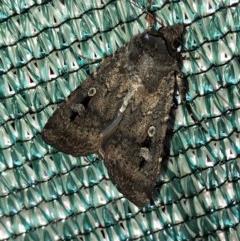 Agrotis infusa (Bogong Moth, Common Cutworm) at Aranda, ACT - 14 Nov 2019 by Jubeyjubes