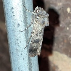 Agrotis porphyricollis (Variable Cutworm) at Aranda, ACT - 14 Nov 2019 by Jubeyjubes