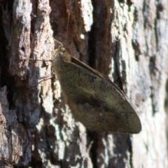 Unidentified Butterfly (TBC) at Moruya, NSW - 13 Nov 2019 by LisaH