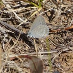 Zizina otis (Common Grass-blue) at Griffith Woodland - 13 Nov 2019 by roymcd