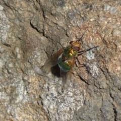 Rutilia (Chrysorutilia) sp. (genus & subgenus) (A Bristle Fly) at Griffith Woodland - 13 Nov 2019 by roymcd