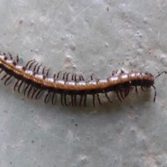 Unidentified Millipede (Diplopoda) (TBC) at Namadgi National Park - 14 Nov 2019 by Christine