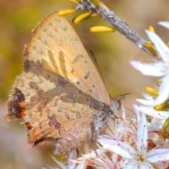 Paralucia aurifer (Bright Copper) at Tidbinbilla Nature Reserve - 14 Nov 2019 by Harrisi