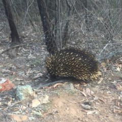 Tachyglossus aculeatus (Short-beaked Echidna) at Mount Ainslie - 14 Nov 2019 by WalterEgo