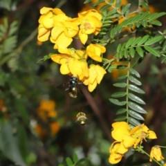 Xylocopa aeratus (Metallic Green Carpenter Bee) at ANBG - 15 Nov 2019 by TimL